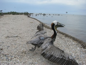 Main research page pelican pic
