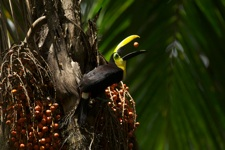 toucan with fruit