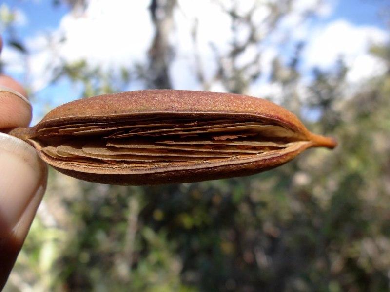oreocallis-seed